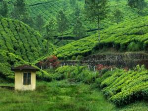 Caseta en la plantación de té