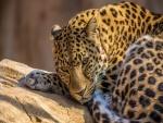 Un precioso leopardo tumbado