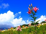 Liliums en el campo