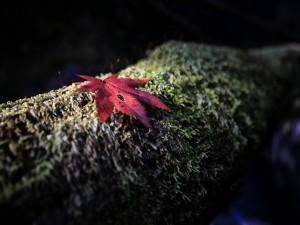 Una hoja roja sobre el musgo