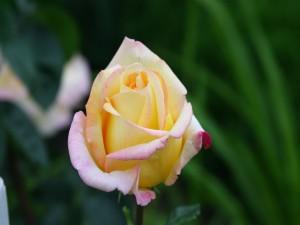 Postal: Una bonita rosa