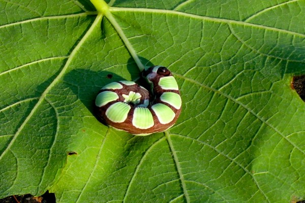 Bonito gusano en la hoja verde