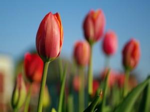 Postal: Tulipanes en el campo