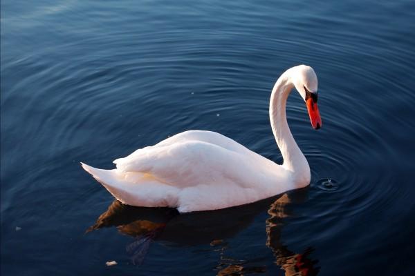 Un bonito cisne