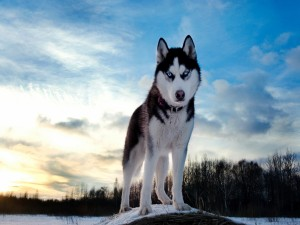 Postal: Un precioso husky