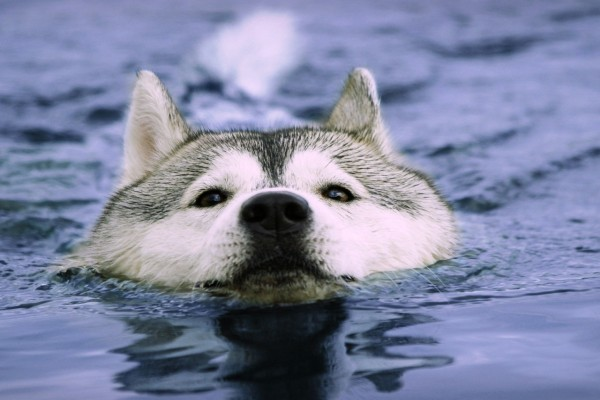 Husky nadando