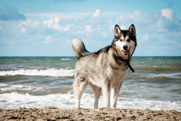 Un husky en la playa