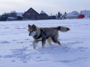 Postal: Husky siberiano caminando en la nieve