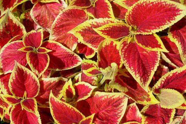 Hojas rojas y amarillas