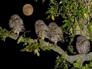 Postal: Pequeños búhos vistos en la noche