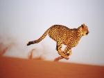 La velocidad del guepardo