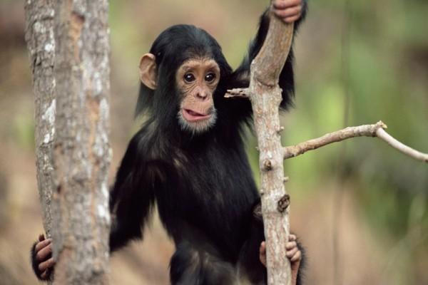 Pequeño chimpancé en el árbol