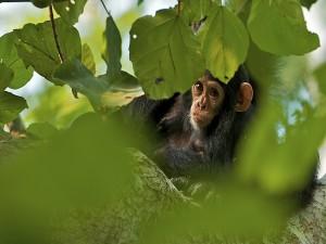 Postal: Chimpancé entre las hojas del árbol