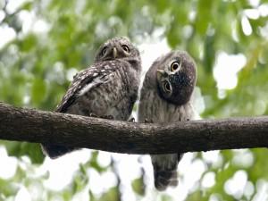Postal: Búhos pequeños en la rama