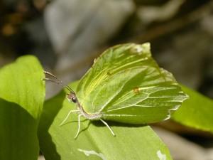 Postal: Mariposa camuflada