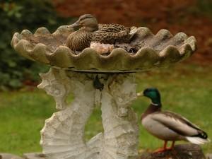 Pato dentro de la fuente