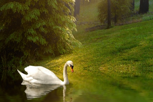 Cisne cerca de la orilla