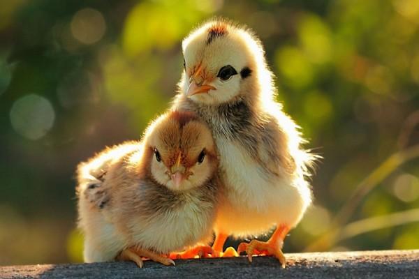 Dos lindos polluelos