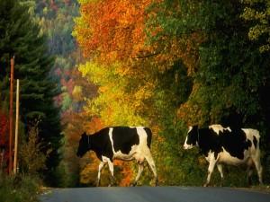 Postal: Dos vacas cruzando la carretera