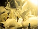 Gaviota entre un grupo de cisnes