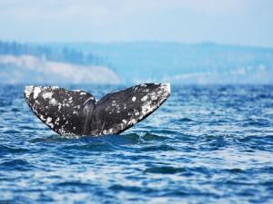 Cola de una gran ballena