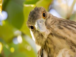 Pájaro con grandes ojos