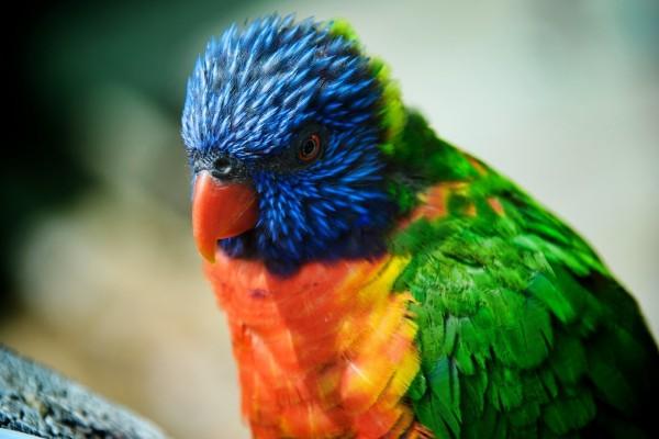 Un bonito lori arcoíris