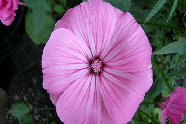 Gran flor de color rosa