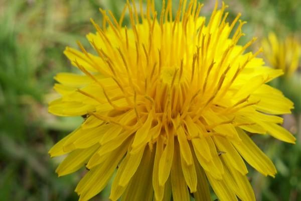 Una flor amarilla con muchos pétalos