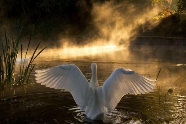 Las alas del cisne