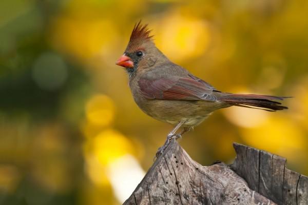 Hembra de cardenal rojo