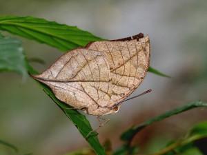 El original camuflaje de la mariposa