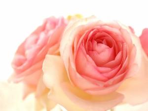 Postal: Ramito de rosas