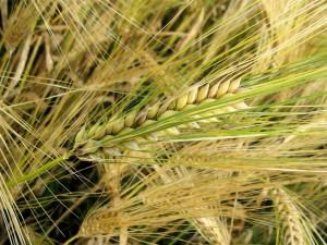 Postal: Espigas de trigo