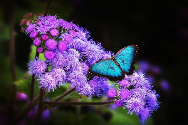 Mariposa azul sobre flores lilas