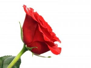 Delicada rosa sobre fondo blanco