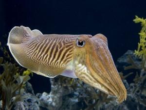 Postal: Gran sepia en el fondo del mar
