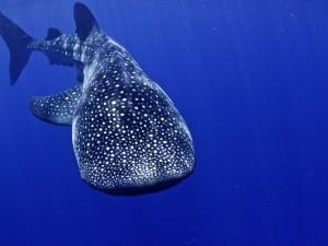 Tiburón ballena en las profundidades