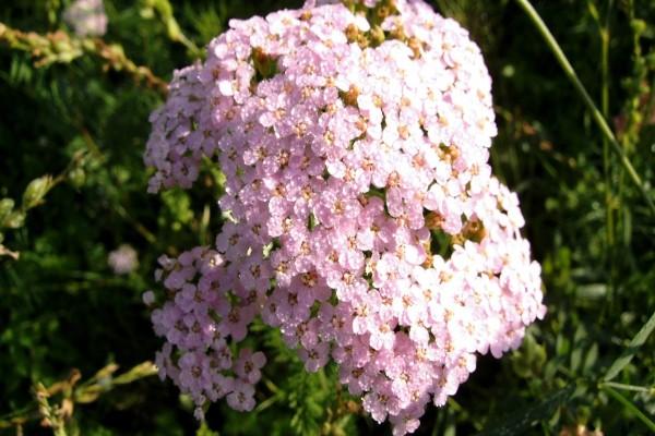 Florecillas rosas iluminadas por el sol