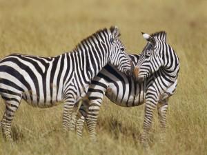 Dos cebras cariñosas