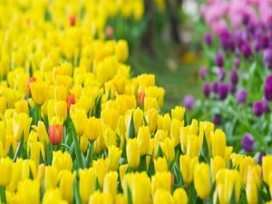Tulipanes amarillos con gotas de agua