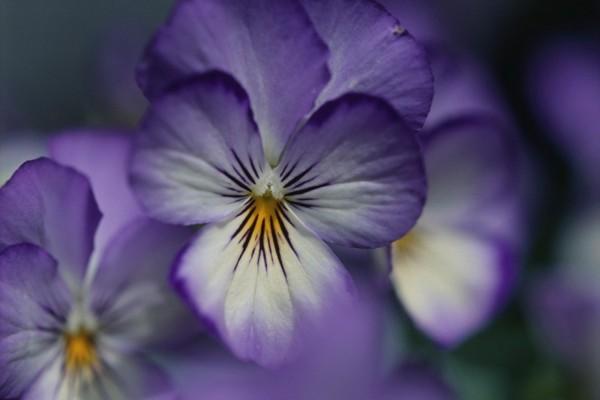 Flores moradas y blancas