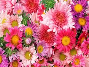 Margaritas y gerberas en tonos rosas