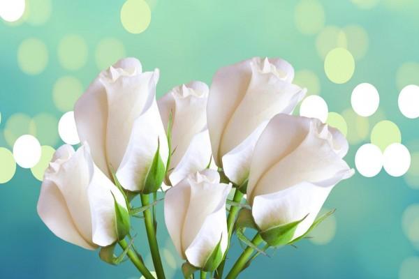 Rosas blancas cerradas