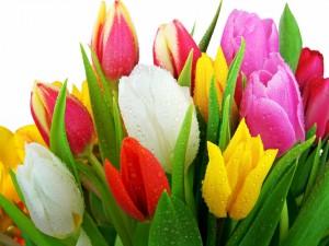 Tulipanes de colores con gotas de agua