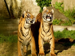 Postal: Tigres jóvenes