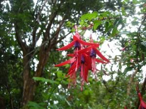 Postal: Fucsias colgando de la rama