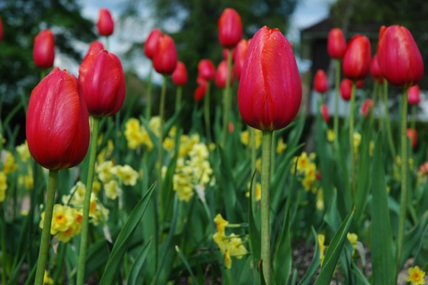 Tulipanes rojos y flores amarillas