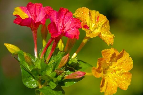 Bellas flores de dos colores
