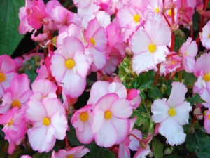 Postal: Begonias rosas y blancas
